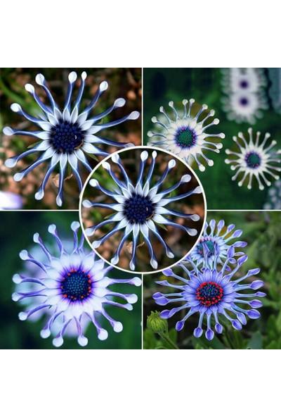 Çam Tohum Nadir Dev Mavi Papatya Tohumu 5'li Çiçek Tohumu