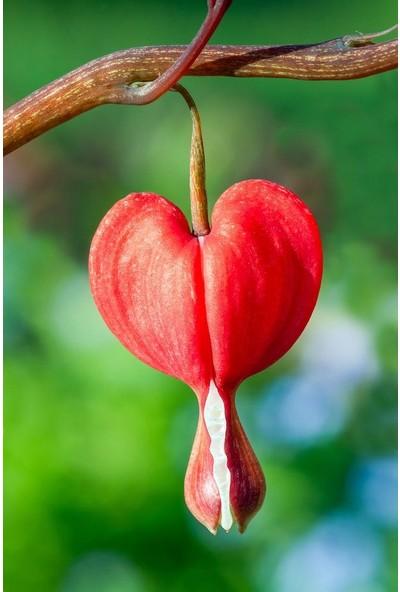 Çam Tohum Nadir Kırmızı Kanayan Kalpler Dicentra Çiçeği Tohumu 5'li