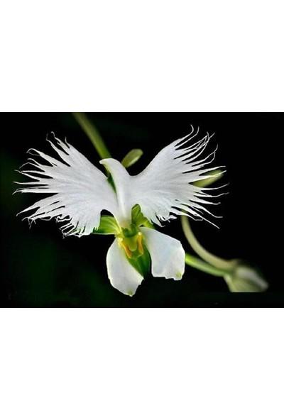 Çam Tohum Nadir Japon Radiata Orkide Tohumu 5'li Çiçek Tohumu