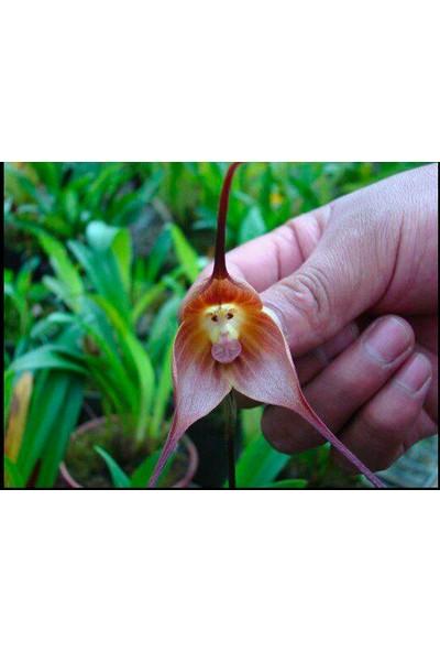 Çam Tohum Nadir Maymun Orkide Tohumu 5'li Çiçek Tohumu