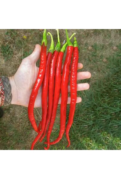 Çam Tohum Nadir Uzun Kırmızı Acı Biber Tohumu 5'li