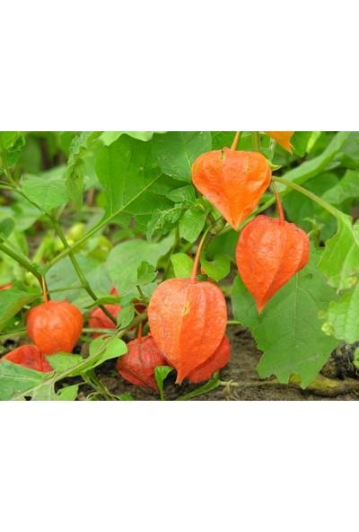 Çam Tohum Tropikal Meyve Güney Feneri Tohumu 5'li