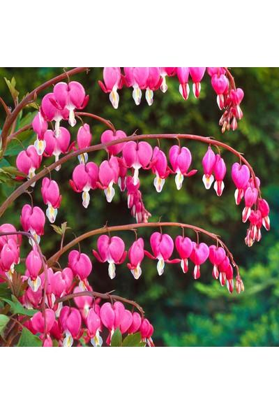 Çam Tohum Nadir Kanayan Kalpler Dicentra Çiçeği Tohumu 5'li