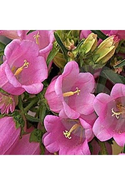 Çam Tohum Pembe Çan Çiçeği Tohumu 5'li Çiçek Tohumu