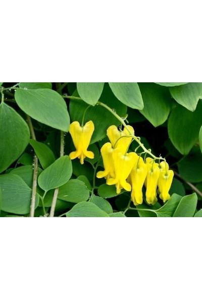 Çam Tohum Nadir Sarı Kanayan Kalpler Dicentra Çiçeği Tohumu 5'li