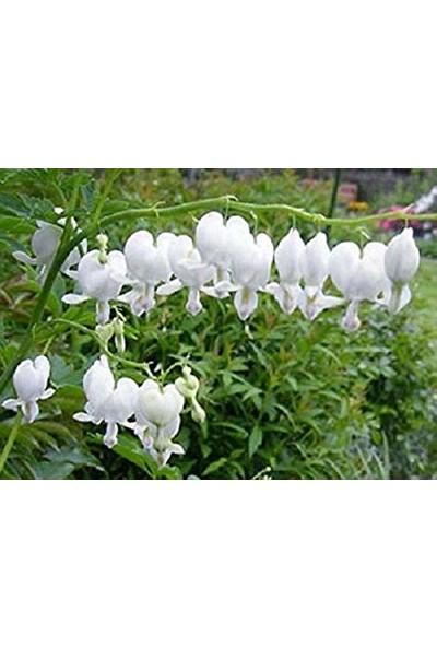 Çam Tohum Nadir Beyaz Kanayan Kalpler Dicentra Çiçeği Tohumu 5'li