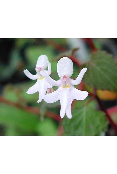 Çam Tohum Nadir Melek Orkide Tohumu 5'li Çiçek Tohumu