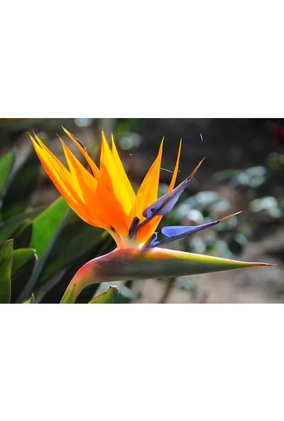 Çam Tohum Nadir Cennet Kuşu Orkide Tohumu 2'li Çiçek Tohumu
