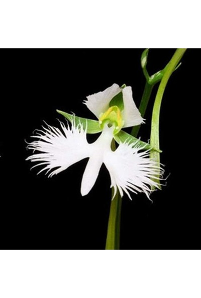 Çam Tohum Nadir Yeni Zellanda Kuş Orkide Tohumu 5'li