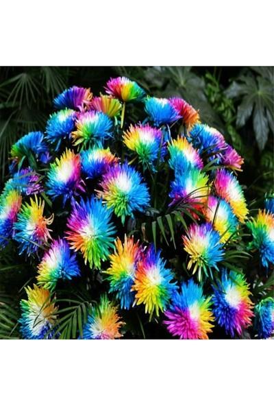 Çam Tohum Nadir Renkli Himalaya Orkide Tohumu 5'li