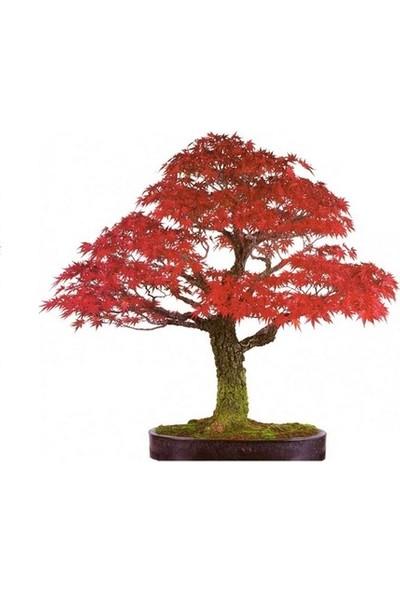 Çam Tohum Bodur Red Maple Bonzai Ağacı Ekim Seti 5'li Saksı Toprak Kombin