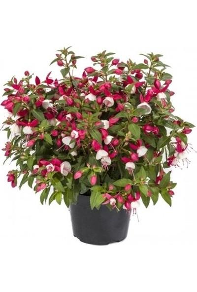 Çam Tohum Karışık Küpeli Çiçeği Ekim Seti 5'li Saksı Toprak