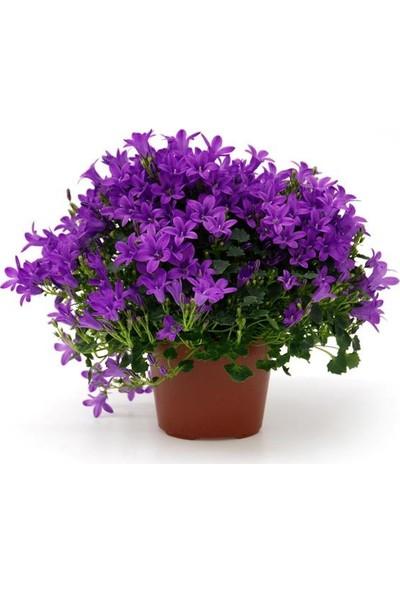 Çam Tohum Mor Kadeh Çan Çiçeği Ekim Seti 5'li Saksı Toprak Çiçek Tohumu