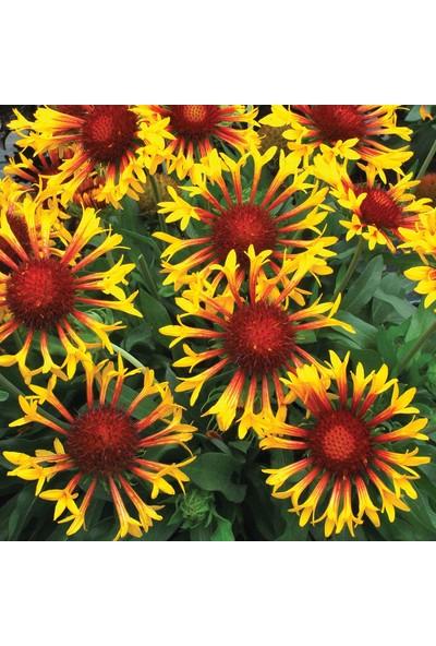 Çam Tohum Ayyıldız Çiçeği Ekim Seti 5'li Saksı Toprak Çiçek Tohumu