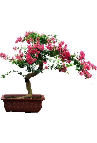 Çam Tohum Bodur Krep Mersin Bonzai Ağacı Tohumu 5'li Bonsai Ağacı Tohumu
