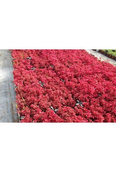 Çingene Şalvarı 3 Adet - Pembe Süs Bitkisi - Iresine Herbstii