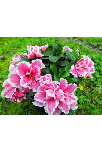 Boothas Açelya Çiçeği Tohumu 15'li Saksı Torf Tohum