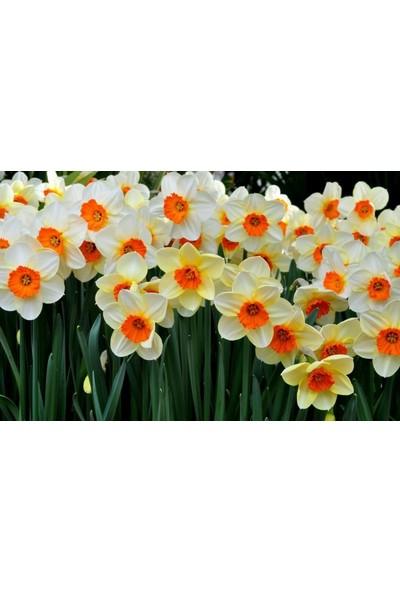 Boothas Fulya Çiçeği Tohumu 15'li Saksı Torf Tohum