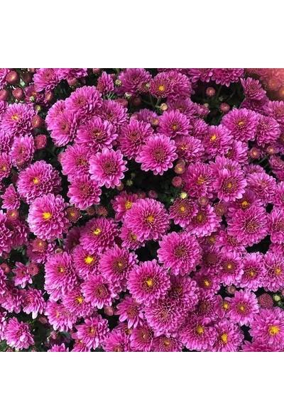 Boothas Kasımpatı Çiçeği Tohumu 15'li Saksı Torf Tohum