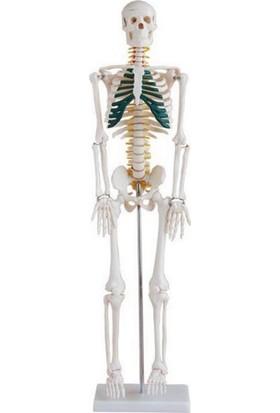 Ece Spinal Sinirleri Gösterir İnsan İskeleti Modeli 85 cm