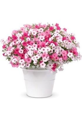 Çam Tohum Karışık Petunya Çiçeği Ekim Seti 25'li