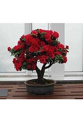 Çam Tohum Bodur Kırmızı Gül Bonzai Ağacı Tohumu 5'li
