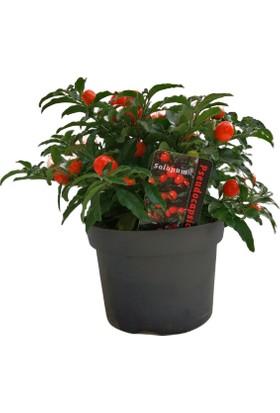 Ender Peyzaj Kudüs Kirazı (Solanum Pseudocapsicum) Bitkisi 20 cm