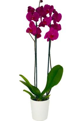 Kutukutucicek Çift Dal Mor Orkide