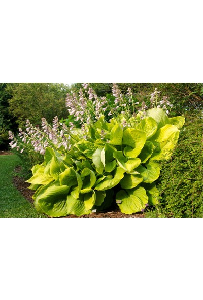 Tunç Botanik Ağustos Zambağı Hosta 5 Adet