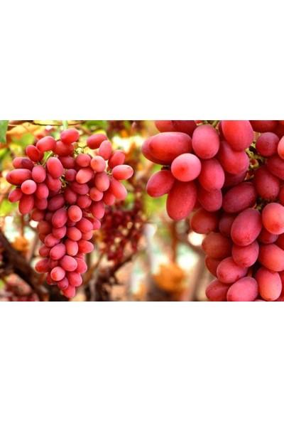 Plantistanbul Asma Üzüm Fidanı Crimson Seedless Açık Köklü 20 - 40 cm