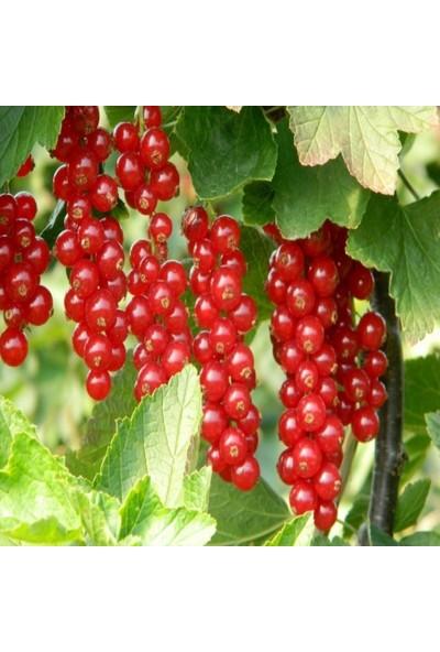 Plantistanbul Ribes Rubrum Rovada Kırmızı Frenk Üzümü Saksıda 20 - 40 cm