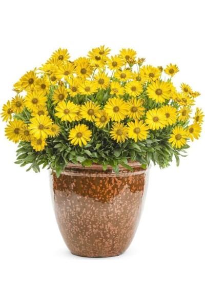 Çam Tohum Afrika Papatyası Çiçeği Ekim Seti 5'li
