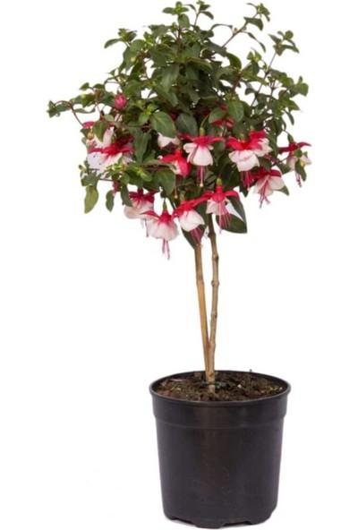 Çam Tohum Beyaz Küpeli Çiçeği Ekim Seti Saksı Toprak 5'li