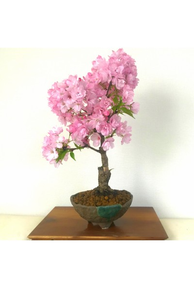 Çam Tohum Bodur Cherry Blossom Bonzai Ağacı Tohumu 5'li