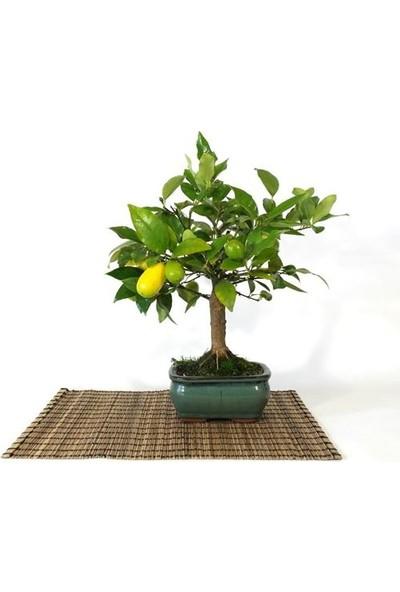 Çam Tohum Bodur Hint Limonu Bonzai Ağacı Tohumu 3'lü