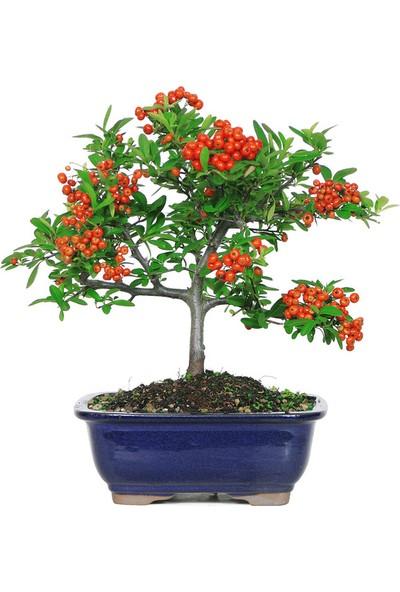 Çam Tohum Bodur Kızılcık Bonzai Ağacı Tohumu 5'li