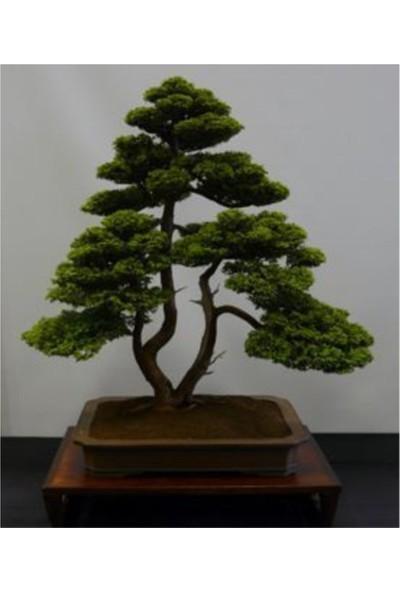 Çam Tohum Bodur Lübnan Sediri Bonzai Ağacı Tohumu 5'li