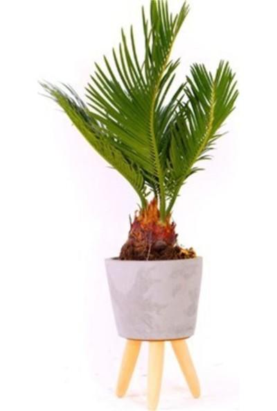 Çam Tohum Bodur Palmiye Bonsai Ağacı Tohumu 3'lü