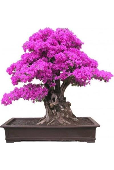 Çam Tohum Bodur Pembe Mersin Bonzai Ağacı Tohumu 5'li