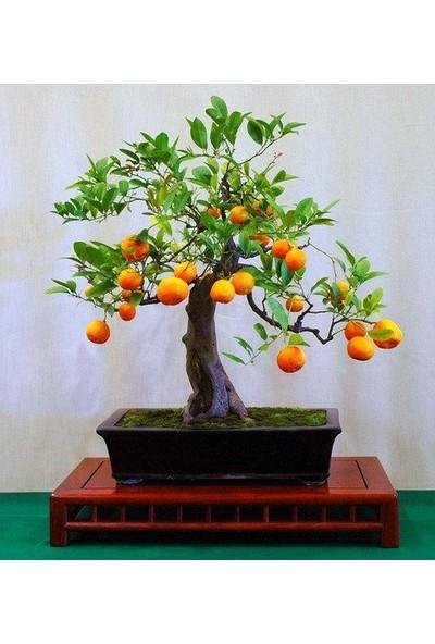 Çam Tohum Bodur Portakal Bonzai Ağacı Ekim Seti 3'lü Saksı Toprak Kombin