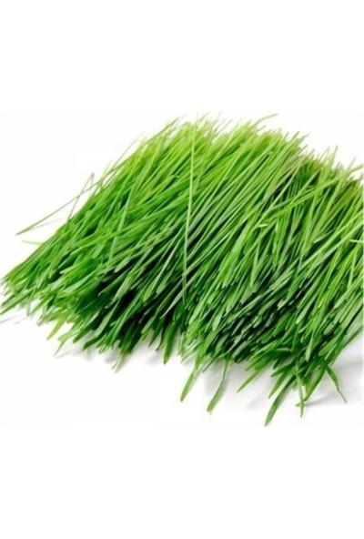 Çam Tohum Buğday Çimi Ekim Seti 500'lü