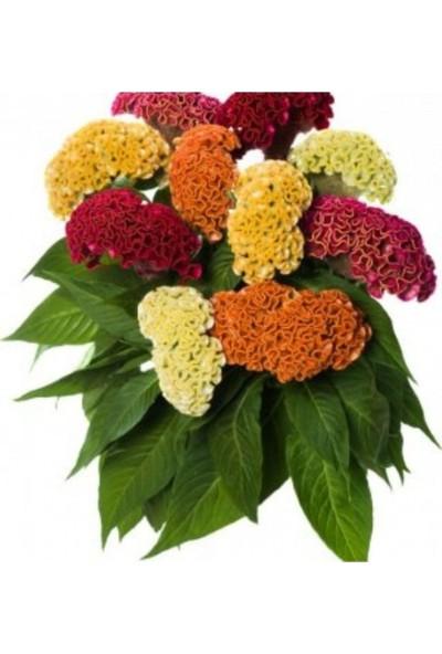Çam Tohum Celosia Çiçeği Ekim Seti Saksı Toprak 5'li