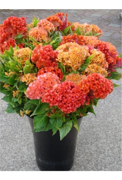 Çam Tohum Celosia Çiçeği Tohumu 5'li