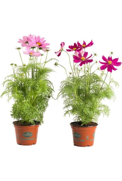 Çam Tohum Cosmos Çiçeği Tohumu 5'li
