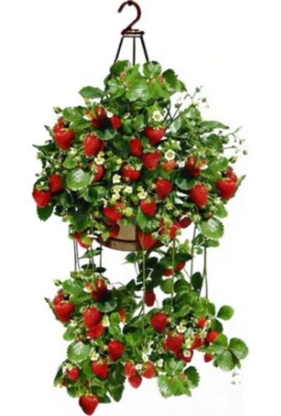 Çam Tohum Dört Mevsim Yediveren Çilek Tohumu 10'lu