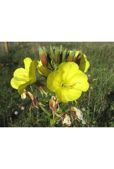 Çam Tohum Ezan Çiçeği Ekim Seti 25'li
