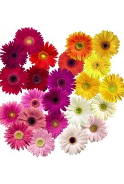 Çam Tohum Gerbera Çiçeği Tohumu 5'li