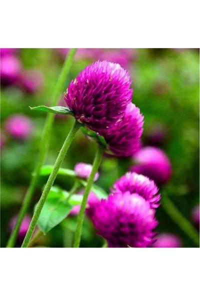 Çam Tohum Hanım Düğmesi Çiçeği Ekim Seti 5'li