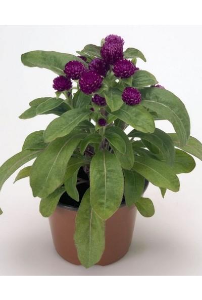 Çam Tohum Hanım Düğmesi Çiçeği Tohumu 5'li