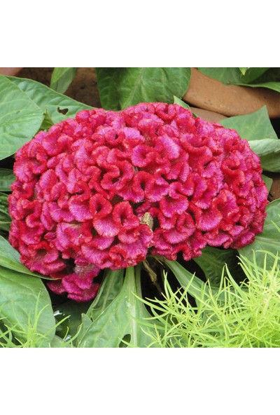 Çam Tohum Horozibiği Çiçeği Tohumu 5'li